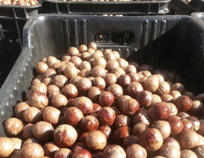 macadamia nut industry in South Africa